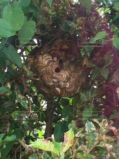 我が家の庭にスズメバチの巣が!!の写真・画像素材[1318988]