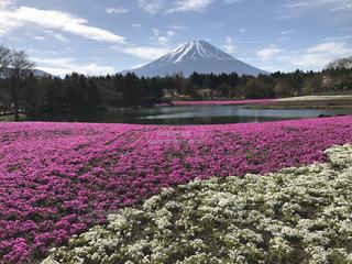 富士山と芝桜の写真・画像素材[1320168]