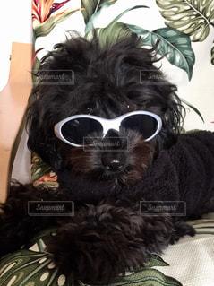 サングラス犬の写真・画像素材[1319253]