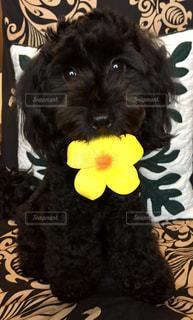 プルメリアと黒犬の写真・画像素材[1319254]