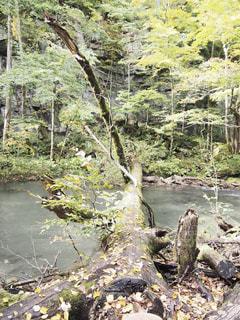 奥入瀬渓流 横たわる木の写真・画像素材[1739700]