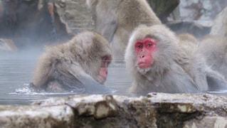 温泉に入る猿の写真・画像素材[1319929]