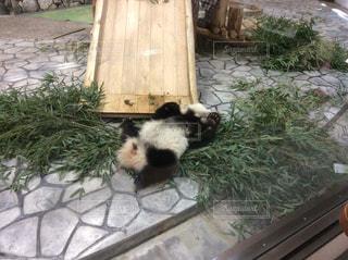 ごろごろパンダの写真・画像素材[1329159]