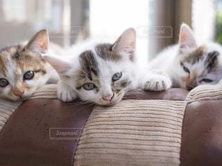 微睡む3匹の猫の写真・画像素材[1323006]