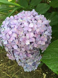 庭の紫陽花の写真・画像素材[1338393]