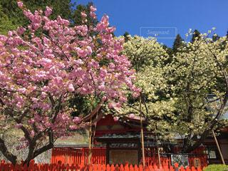 黄金桜の写真・画像素材[1369309]