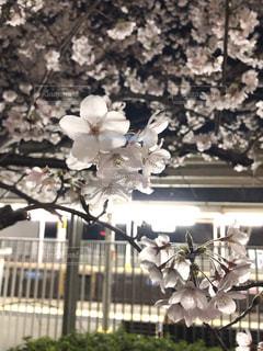 帰り道、駅の外にほころぶ桜を見たの写真・画像素材[1329652]