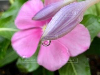 しずくの中の花4の写真・画像素材[3384647]