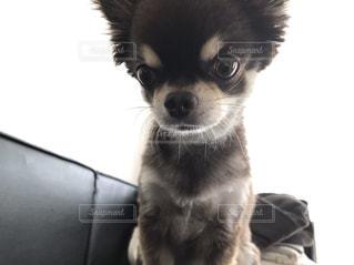 カメラを見て犬の写真・画像素材[1327784]