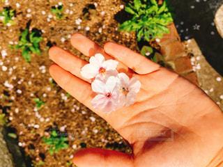 サクラの花びらと手のひらの写真・画像素材[1327799]
