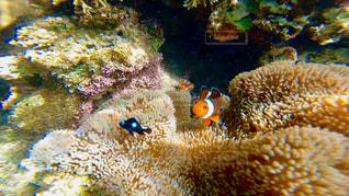 石垣島 米原海岸に住む カクレクマノミ(ニモ)🐠🌈の写真・画像素材[1327822]