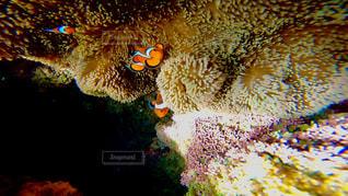 沖縄石垣島のサンゴ礁の海に住むカクレクマノミ(ニモ)🐠🌈の写真・画像素材[1327963]