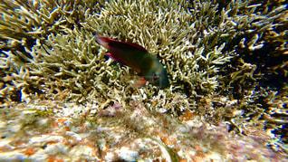 沖縄石垣島のサンゴ礁の海🐠🌈の写真・画像素材[1327965]