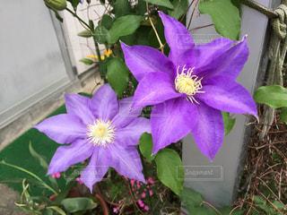 紫のクレマチス(テッセン)の写真・画像素材[1351830]