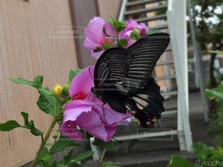 ムクゲにとまる黒い蝶の写真・画像素材[1351853]