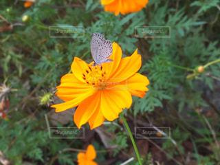 キバナコスモスとシジミチョウの写真・画像素材[1398171]
