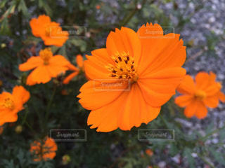 オレンジ色のキバナコスモスの写真・画像素材[1398172]