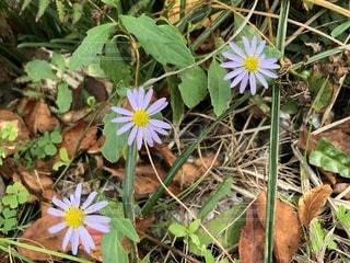 紫の野菊の写真・画像素材[1530331]