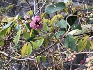 アケビの花の写真・画像素材[1848266]