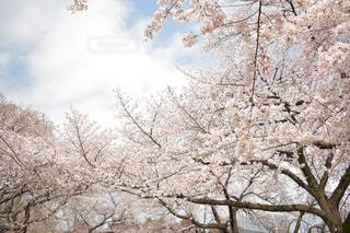 桜の写真・画像素材[1996827]