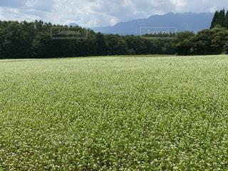 蕎麦畑の写真・画像素材[3536432]