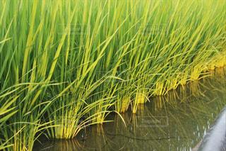 稲の写真・画像素材[1352898]