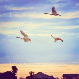 空を飛んでいる白鳥の写真・画像素材[1331587]