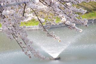 桜祭りの写真・画像素材[1329487]