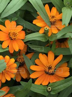 秋の花 ジニアの写真・画像素材[1496465]