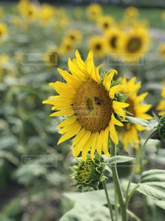 ひまわりとミツバチの写真・画像素材[1399129]