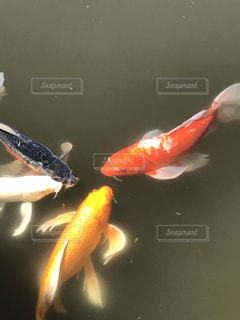 金の鯉の写真・画像素材[1343583]