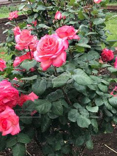 日比谷公園の薔薇の写真・画像素材[1331714]