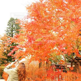 紅葉の木をスマホで撮っている女性の写真・画像素材[1333600]