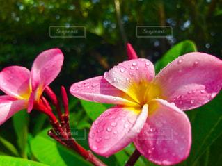 緑の葉とピンクの花の写真・画像素材[1330533]