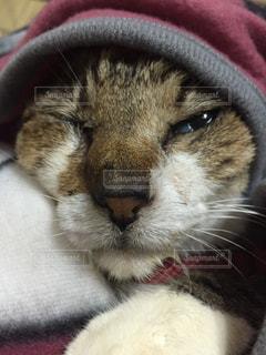 不機嫌猫の写真・画像素材[1343411]