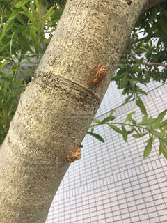 蝉の抜け殻の写真・画像素材[1344409]