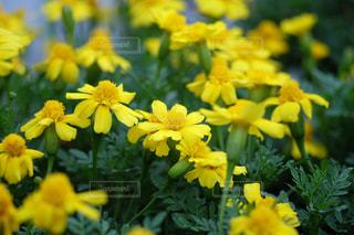 黄色のお花いっぱいの写真・画像素材[1345599]