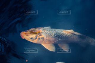 池の鯉の写真・画像素材[1354595]