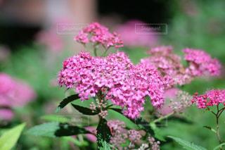 紫陽花の写真・画像素材[1354600]