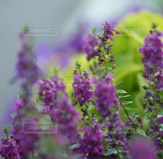 紫の花の写真・画像素材[1386042]