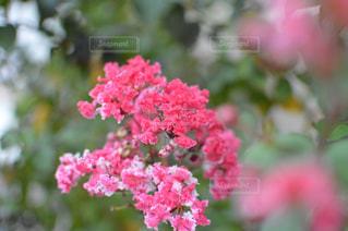 ピンクのお花の写真・画像素材[1401926]