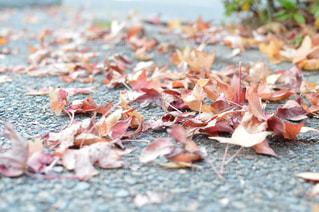 落ち葉の写真・画像素材[1598387]