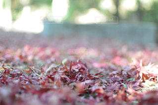再度山の落ち葉の写真・画像素材[1623693]