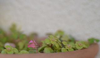 家のプランターに小さな可愛いピンクの三つ葉のクローバー。珍しい。初めて見たの写真・画像素材[1648693]