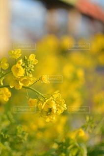 菜の花がいっぱいの写真・画像素材[1828152]