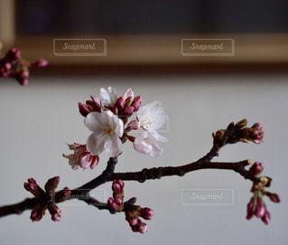桜の蕾の写真・画像素材[1969927]