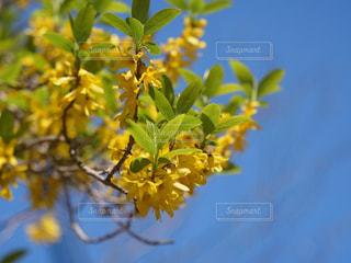 黄色の綺麗なしだれレンギョウの写真・画像素材[2010312]