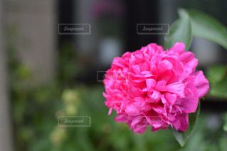一輪のピンクの花の写真・画像素材[2133959]