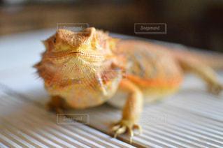 フトアゴヒゲトカゲのロックちゃんの写真・画像素材[2447620]