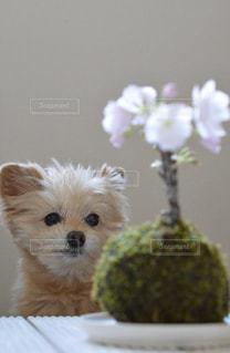 桜と犬の写真・画像素材[3042041]